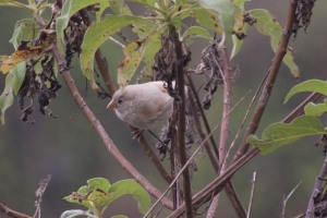 Albino Ground Finch