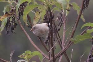 Albino Ground Finch