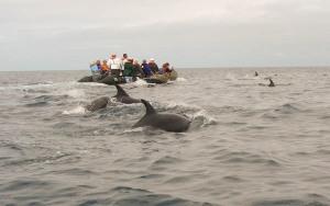 Dolphins near the Zodiacs