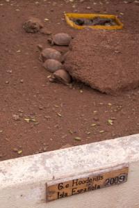 Baby Española Tortoises
