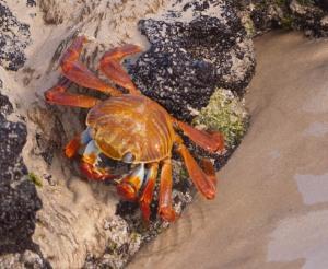 Crab on Floreana