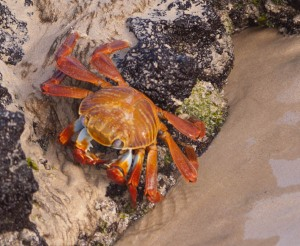 Crab on Floreana