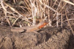 Santiago Lava Lizard