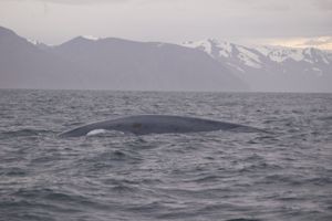 Blue Whale (back)