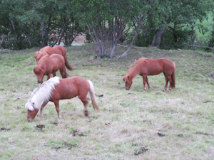 Icelandic horses outside our cabin