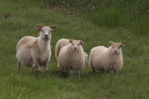 The attractive and ubiquitous sheep